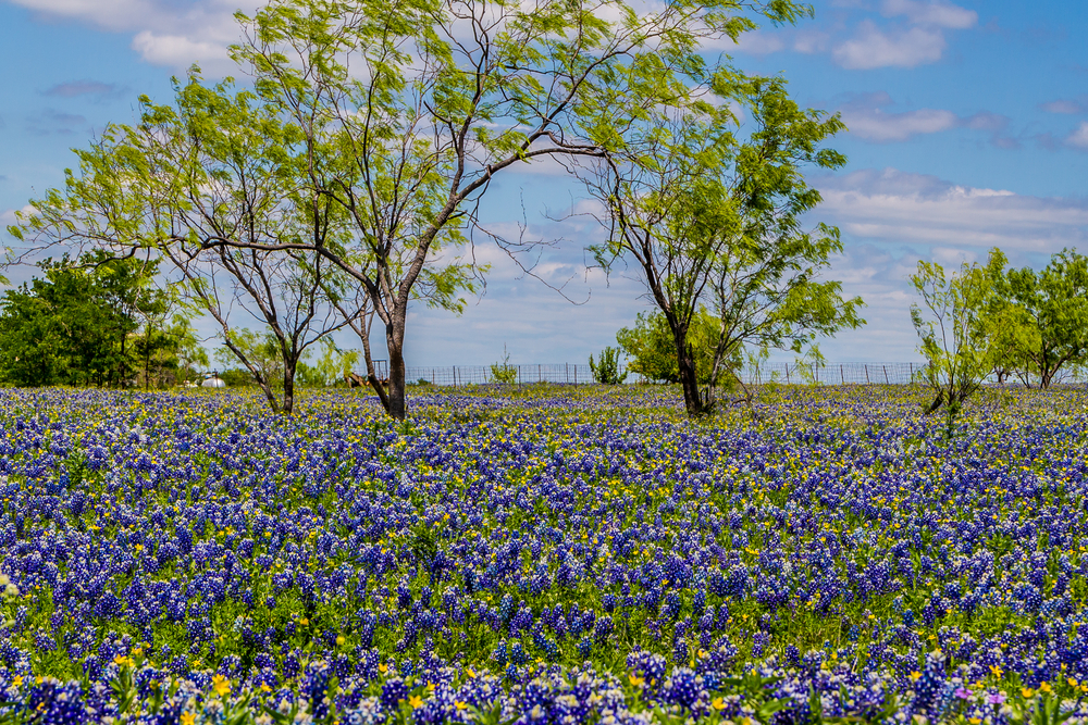 15 Amazing Things You Should Know About Texas Bluebonnets Kera News