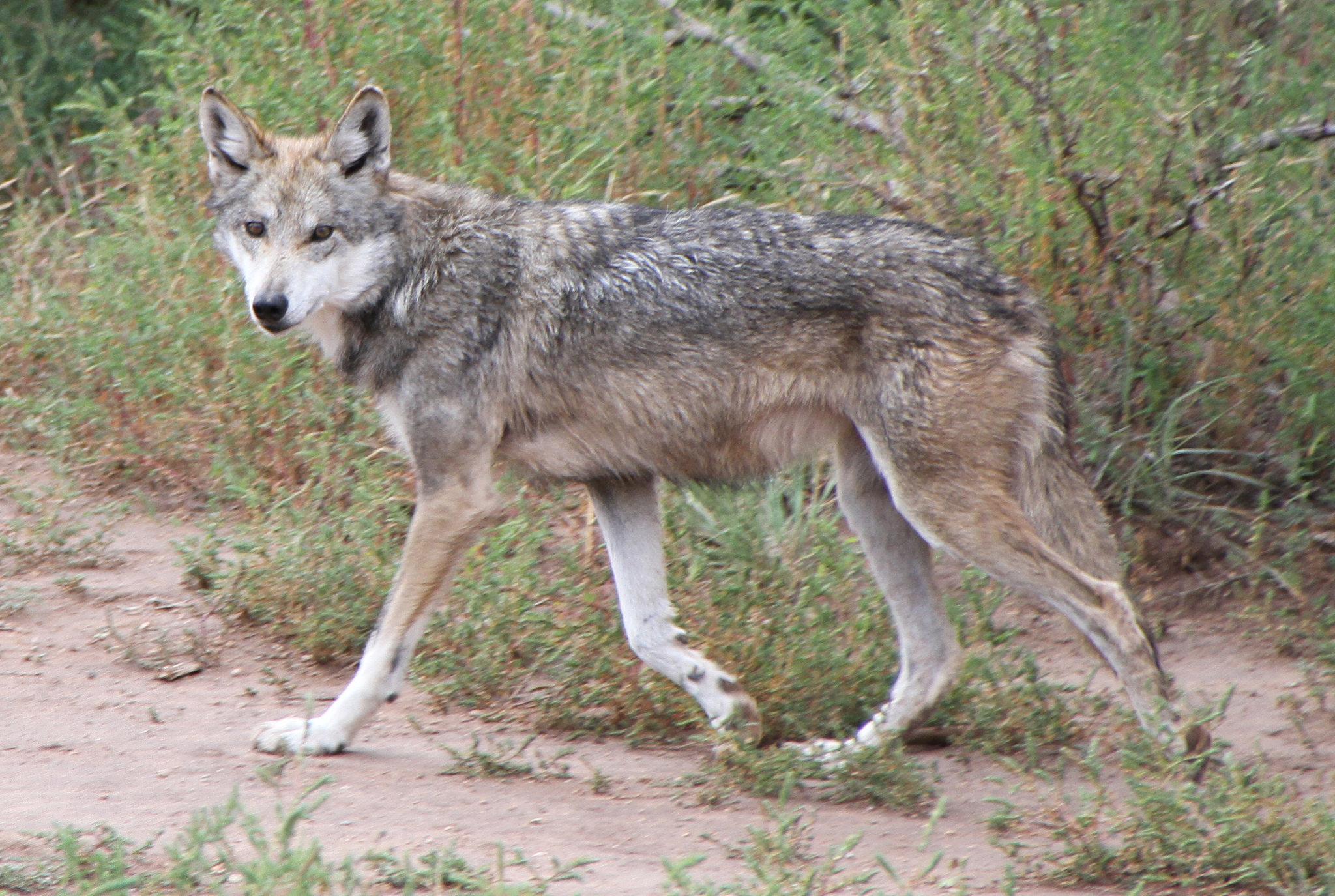 степной волк фото животное ли