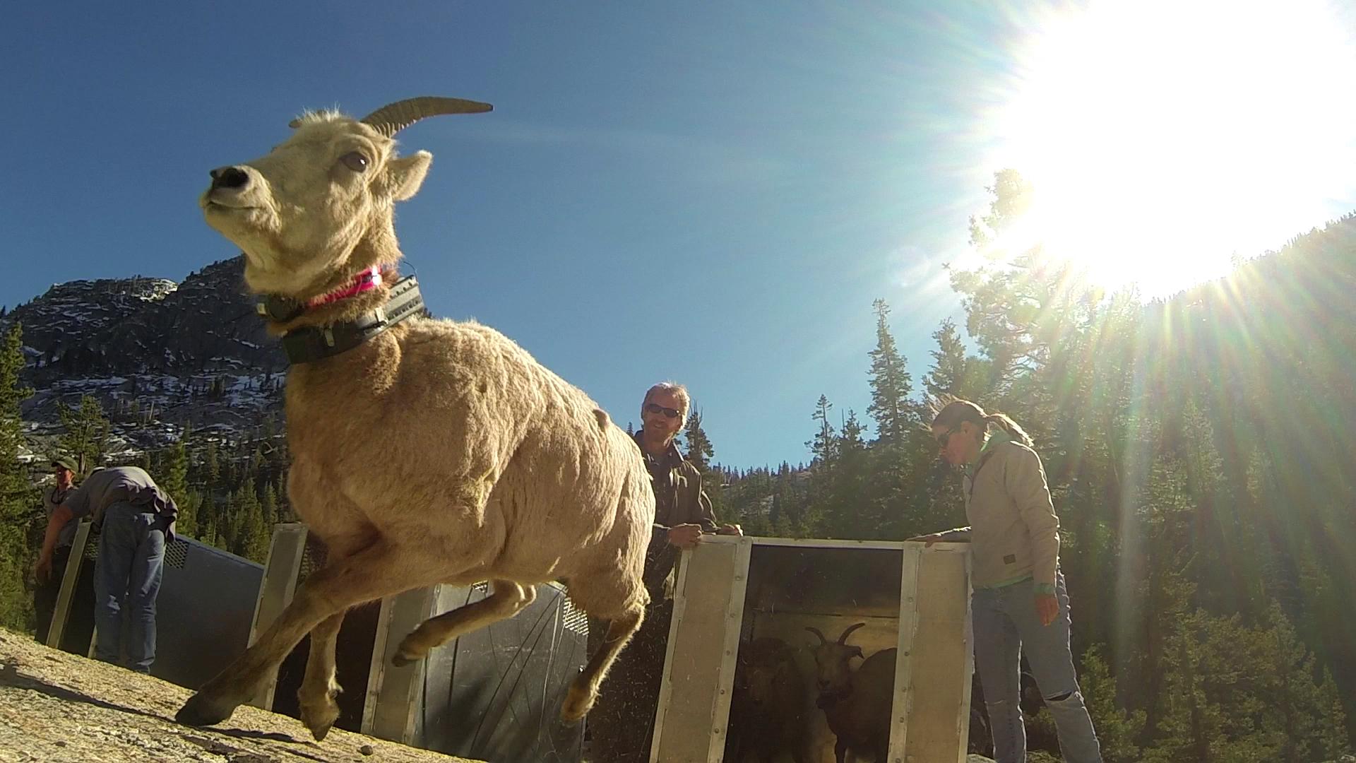 A Century Later Sierra Nevada Bighorn Sheep Return To Yosemite Sequoia Valley Public Radio