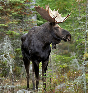 Concerns About N H S Moose Population New Hampshire