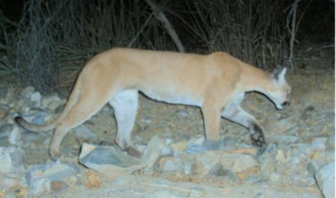 Think You Saw A Mountain Lion In N H New Hampshire Public Radio Mountain lions have a distinctive m shaped pad with three lobes on the rear of the heel (dogs only have two lobes). mountain lion in n h
